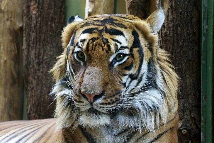 Павлика нашли мертвым: на Амуре ищут убийцу тигра